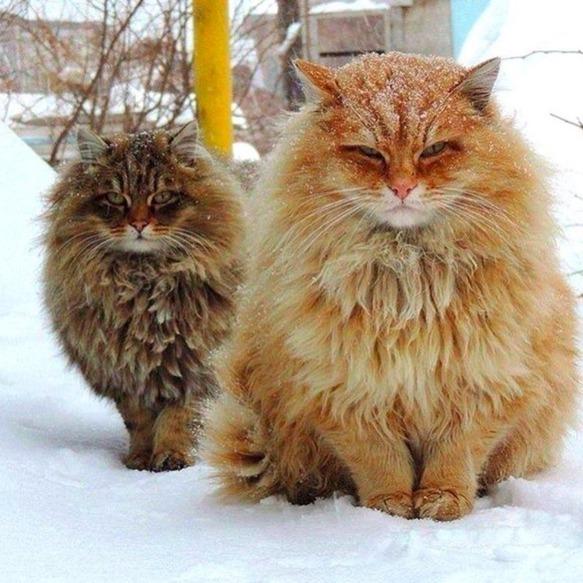 Mèo Siberian có nguồn gốc từ Nga, được cho là tổ tiên của những loài mèo lông dài hiện nay. Có thể nói mèo Siberina là giống mèo cực hiếm và được nhiều người chơi mèo ưa chuộng.(Ảnh: Internet)