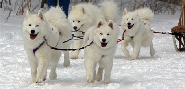 Em chó Samoyed cũng được liệt vào danh sách một trong những loại động vật lông dài đáng yêu.(Ảnh: Internet)
