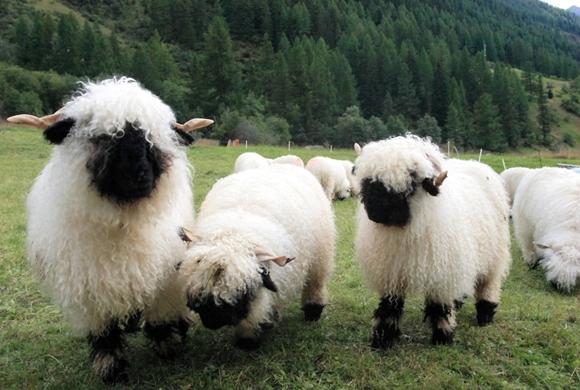 Cừu mũi đen Valais có nguồn gốc nguyên thủy từ vùng Valais - Thụy Sĩ. Đây là giống cừu quý hiếm được xếp vào nhóm động vật di sản tại Thụy Sĩ.(Ảnh: Internet)