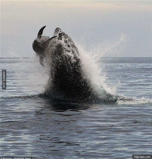 Cá voi sát thủ đang ngoạm một con cá heo. (Ảnh: Internet)