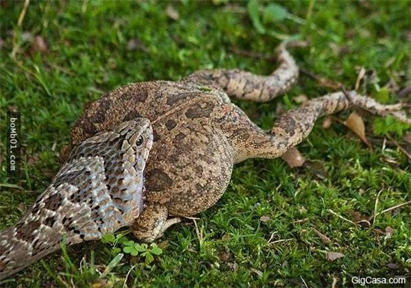 Con rắn nhỏ đang nuốt con cóc. (Ảnh: Internet)