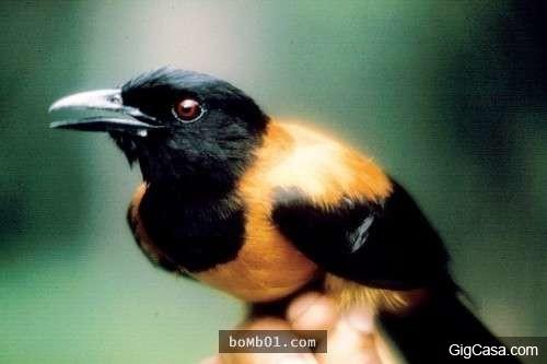 Chú chim có bộ lông đầy độc tố. (Ảnh: Internet)
