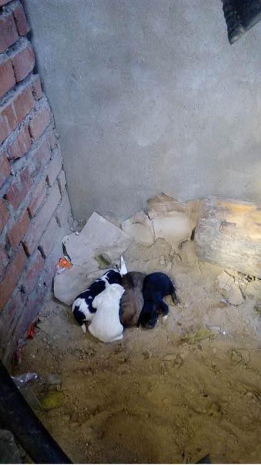 Chó mẹ và đàn con sống trong một ngôi nhà bỏ hoang. (Ảnh: Internet)