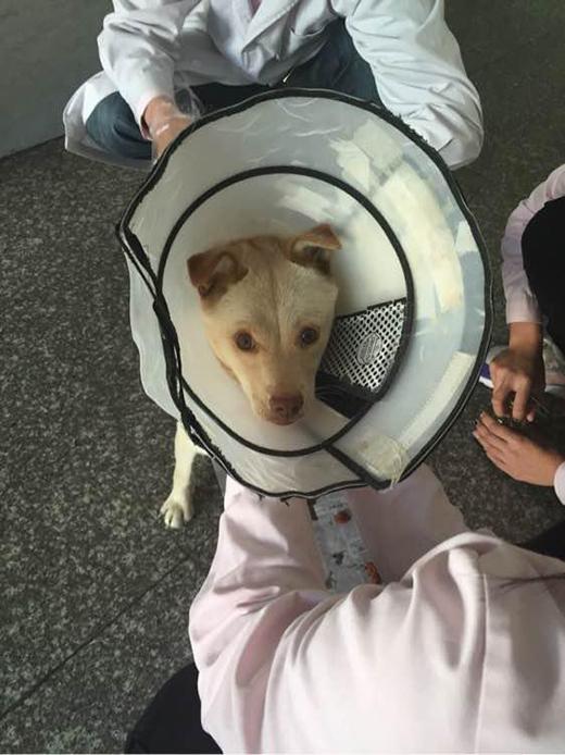 Các bác sĩ thú y tiêm thuốc chống nhiễm trùng và băng bó vết thương cho chó mẹ. (Ảnh: Internet)