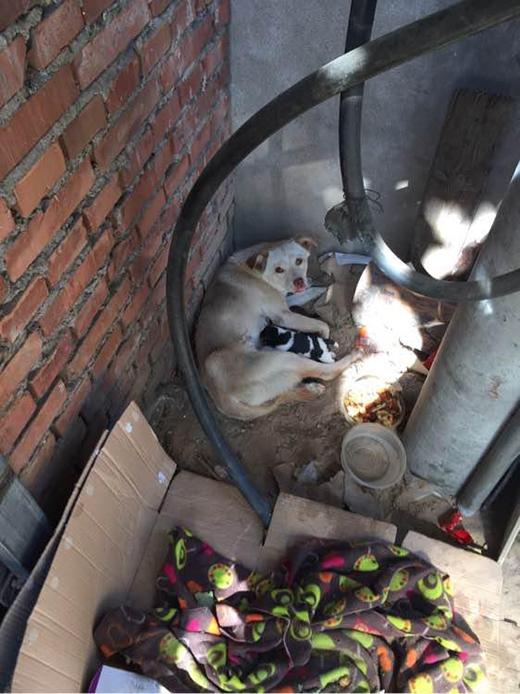 Cô chó hoang vất vả nuôi con với cái chân bị thương nặng. (Ảnh: Internet)