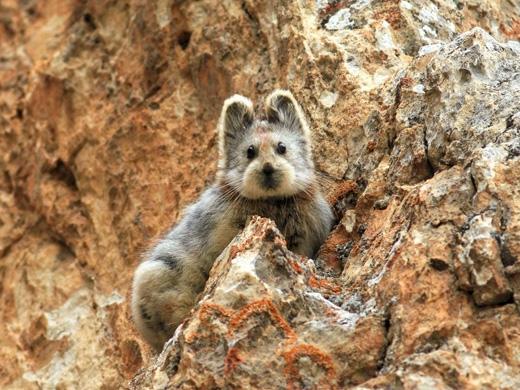 Loài thỏ Ili Pika sống trong những hốc đá trong những khu vực núi đá lạnh lẽo quanh năm tuyết phủ. (Ảnh: Li Weidong)