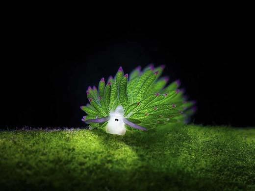 Loài sinh vật đáng yêu này có hình dáng giống như một con Cừu nên thường được gọi là Cừu biển. Tên sinh học của nó là Costasiella Kuroshimae. (Ảnh: Internet)
