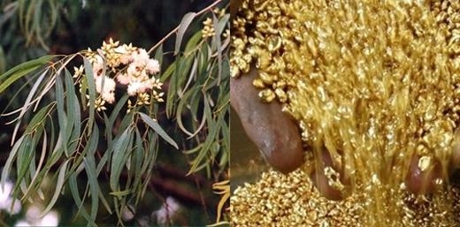Việc tìm thấy vàng trong lá cây bạch đàn khiến nhiều người bất ngờ. Ảnh: Internet