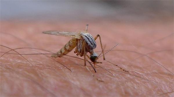 """Muỗi Aedes là """"hung thủ"""" khiến virus Zilka lây lan nhanh. Ảnh: Internet"""