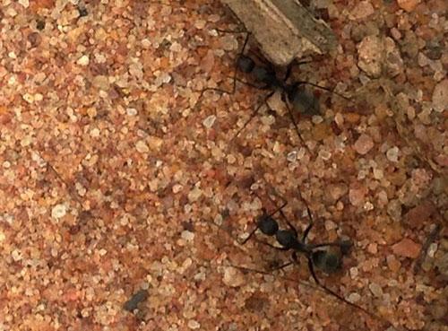 Kiến bọ nhọt được câu để bán cho các thợ săn bò cạp. Ảnh: Internet