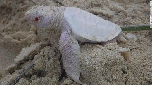 Alby, chú rùa xanh bị bạch tạng, mới chào đời ở Bãi biển Castaways, gần Noosa ở Queensland, Úc vào cuối tuần trước. (Ảnh: Internet)