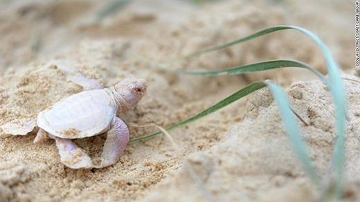 Những tình nguyện viên bảo tồn đời sống hoang dã đã phát hiện ra sinh vật bé tí màu hồng nhạt này trong lúc đi đếm số vỏ trứng rùa trong một cái tổ trên bãi biển. (Ảnh: Internet)