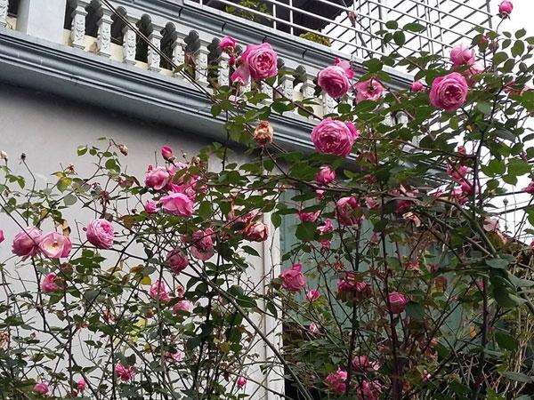 Với lí do gai nhiều, bố mẹ chị Dung đã từng muốn chặt bỏ cây hồng này, nhưng nhờ sự kiên trì của chịmới có gốc hồng tươi thắm chi chít hoa tô điểm cho căn nhà thêm sang trọng, đẹp đẽ như ngày nay. (Ảnh: Internet)