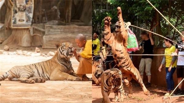 Tương tự như trên, việc quá nhiều du khách đến thường ảnh hưởng đến tâm lí của hổ và sẽ thật không dễ dàng gì tiếp cận chúng như hình ảnh mà bạn từng thấy đâu. (Ảnh: Internet)