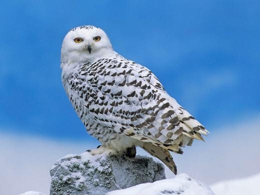 Còn đây là loài cú tuyết với khuôn mặt dữ tợn, cùng bộ lông trắng/nâu nhạt đan xen. Chúng đặc biệt có thị giác và thính giác cực tốt, cho phép săn bắt các loài khác như chuột, chim nhỏ, thỏ rừng... vào ban đêm. (Ảnh: Internet)