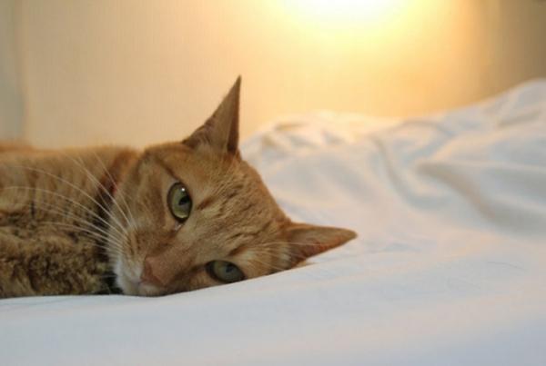 Chú mèo này đang nằm trên chiếc giường êm ái.(Ảnh: Internet)