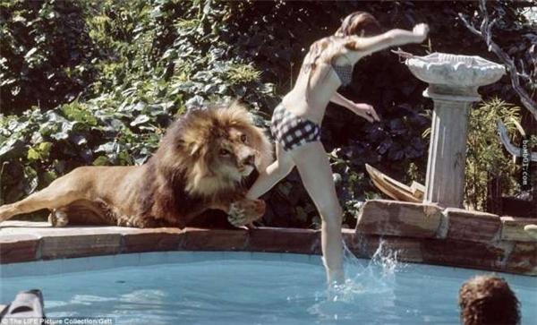 Bản chất hoang dã của sư tử không thể nào thuần hóa được. (Ảnh: Internet)