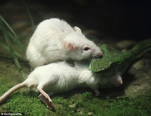 Thức ăn của rắn chủ yếu là những loài động vật có khung xương sống nhỏ. (Ảnh: Internet)