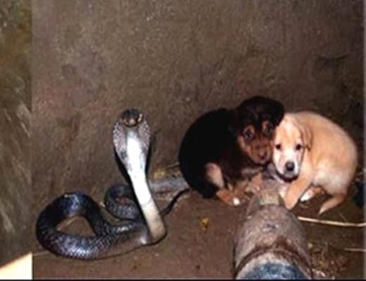 Con rắn hổ mang đang bảo vệ hai chú chó khỏi vùng nước trũng nguy hiểm. (Ảnh: Internet)