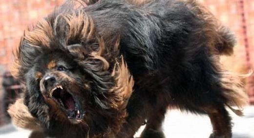 Được ví là Chúa tể của thảo nguyên, Ngao Tây Tạng là loài chó lớn (hơn cả chó sói) với sức mạnh vượt qua cả báo hoa mai cùng tốc độ nhanh như hươu nai. Chúng là loài chó hung dữ và được dùng để bảo vệ gia súc. Chúng cũng là loài trung thành với một chủ duy nhất.