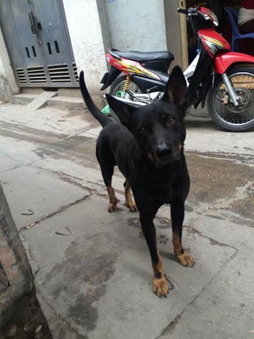 Đặc điểm của loài chó dữ là tấn công. Nếu người chủ không thuần được, khi đi ra đường nếu bị kích động sẽ tấn công bất cứ ai, kể cả chủ.