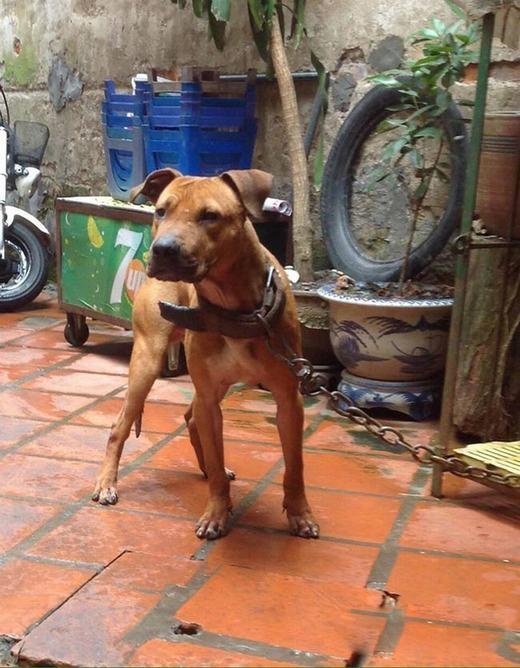 Chú chó Pitbull của anh Phước thường xuyên tập thể dục trên máy chạy nên không cần chạy ngoài đường vẫn có dáng đẹp.