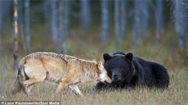 """""""Nhìn cái mặt là biết mới bị 'gấu' đá rồi"""". (Ảnh: Laussi Rautiainen)"""