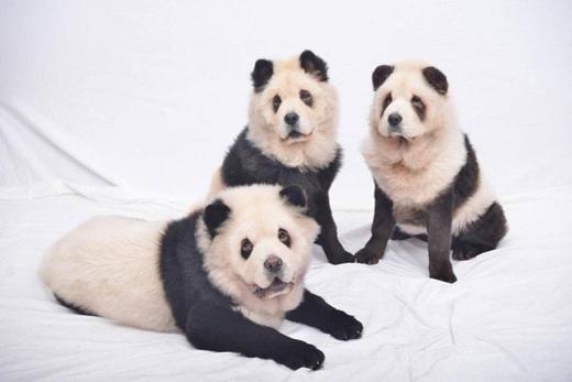"""Ba chú chó được nhuộm đen như những chú gấu trúc """"thực thụ"""".(Ảnh: Internet)"""