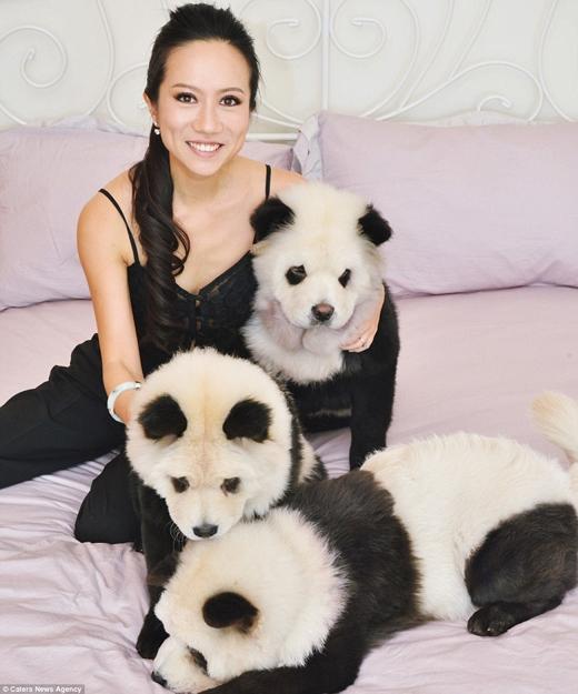 """Hình ảnh những chú Panda Chow Chow này xuất hiện đầy các trang mạng xã hội.(Ảnh: Internet)  Nhiều người đã tới nhà Jiang để được """"giao lưu"""" và chụp hình với những chú gấu trúc """"giả mạo"""" này.(Ảnh: Internet)"""