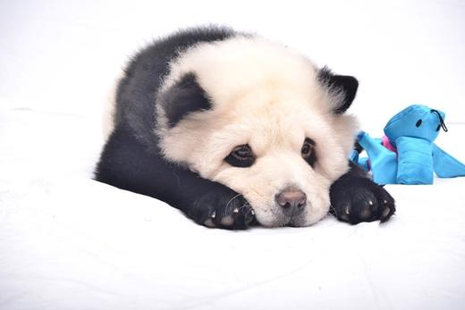 Việc nhuộm lông cho thú cưng của Jiang đứng trước búa rìu dư luận.(Ảnh: Internet)