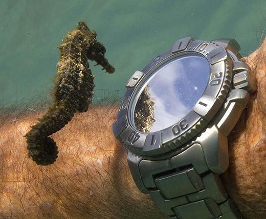 Chú cá ngựa đang soi gươngtrước mặt đồng hồ. (Ảnh: Internet)