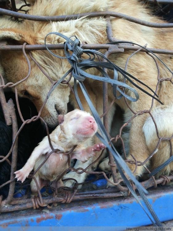 Chú chó con bé xíu chưa kịp mở mắt và được sinh ra trên đường đến cái chết đang nhoài người cố tìm lấy hơi ấm chó mẹ. (Ảnh: Internet)