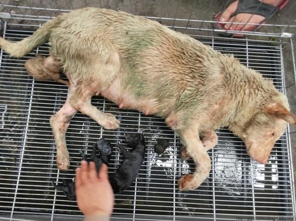 Một con chó mẹ khác cùng những đứa con mới sinh cũng được cứu thoát kịp thời và có cơ hội được sống tiếp. (Ảnh: Internet)