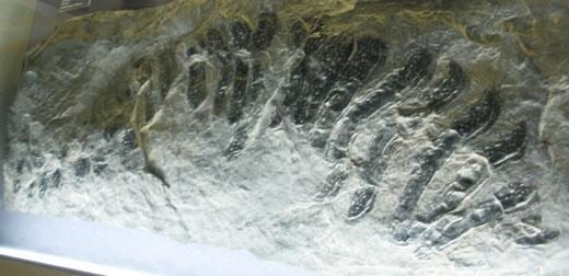 """Hóa thạch cho thấy số lượng chân """"khủng khiếp"""" củaArthropleura.(Ảnh: Internet)"""
