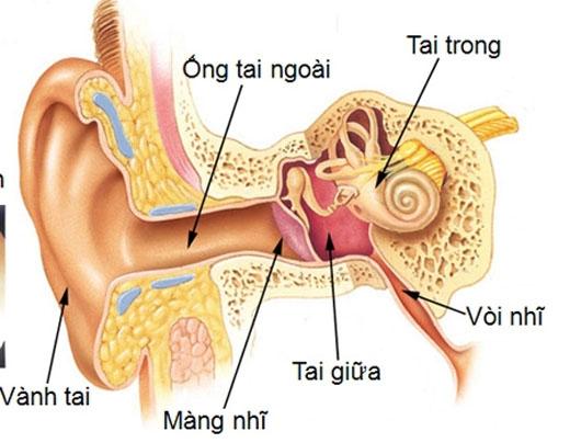 Ráy tai chỉ được hình thành ở 1/3 ngoài của ống tai, phần sâu bên trong gần với màng nhĩ không sản sinh chất này.(Ảnh: Internet)