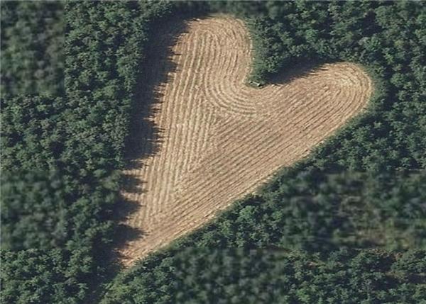 Một trái tim được ấp ủ giữa 6.000 cây sồi. (Ảnh: Internet)