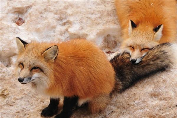 Khi mệt chúng cũng có thể gác cằm lên chiếc đuôi êm ái của bạn mà ngủ. (Ảnh: ryooo007)
