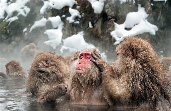 Chúng còn bắt chí cho nhau ngay tại suối nước nóng. (Ảnh: Internet)