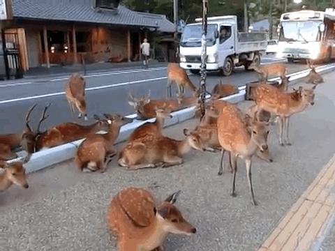 Đây là cảnh tượng thường thấy tại công viên hươu Nara. (Ảnh: BLUEBELLS9999)