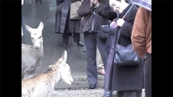 Đặc biệt là nếu bạn cúi đầu chào một con hươu, nó sẽ cúi đầu đáp lễ, có lẽ là để xin đồ ăn. (Ảnh: Ronin Dave)