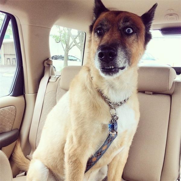 Phận chó đáng thương: Ngỡ được đi chơi, nào ngờ bị bắt đi chích ngừa