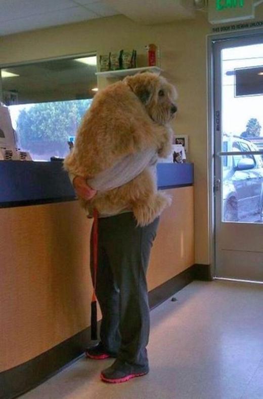 Bước vào phòng khám thì cả những chú chó to xác nhất cũng vứt bỏ lòng tự trọng, tự tôn mà ôm cứng lấy chủ thôi. (Ảnh: Internet)