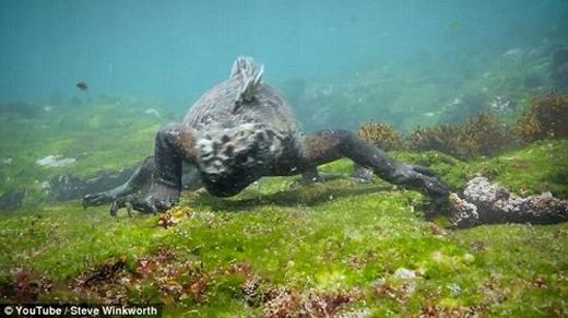 Móng vuốt dài và sắc nhọn cho phép chúng bám chặt vào đá trước những con sóng mạnh của vùng biển Thái Bình Dương