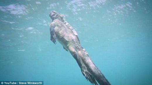 Hình dáng bên ngoài của kỳ nhông biển là cơ sở để các nhà làm phim xây dựng nên hình tượng quái vật biển Godzilla huyền thoại.