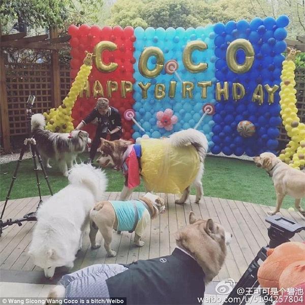 """Không những thế, sinh nhật của Coco còn có sự tham dự của nhiều người bạn cún """"sang chảnh"""" khác do chính anh Vương mời đến. (Ảnh: Vương Tư Thông)"""