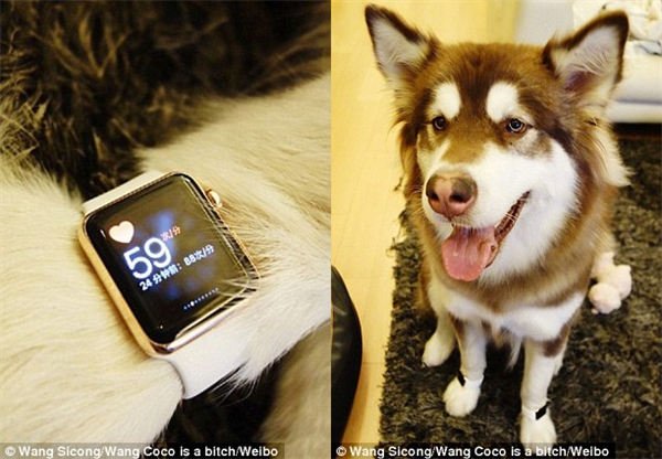 Apple iWatch là chiếc đồng hồ không phải ai muốn có cũng được, nhưng Coco được chủ mua cho tận hai cái và điều này đã gây ra một cuộc tranh cãi nảy lửa trên mạng xã hội. (Ảnh: Vương Tư Thông)