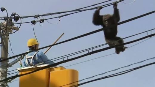 Sốc: Tinh tinh xổng chuồng đu dây điện ở Nhật Bản