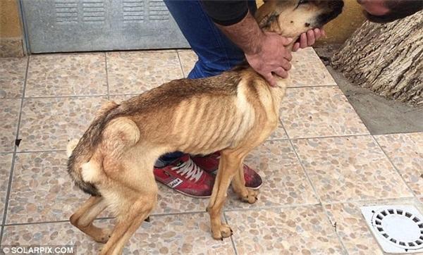 Đáng thương chú chó da bọc xương hấp hối vì bị bỏ đói
