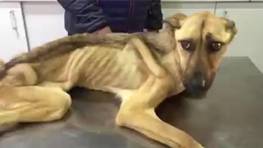 Hành trình tìm lại sự sống của chú chó bị bỏ đói gầy trơ xương