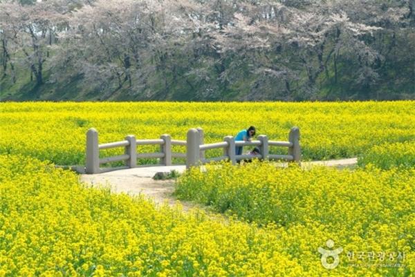 Đảo Jeju là nơi duy nhất ở Hàn Quốc miễn visa cho du khách Việt. Nơi đây nổi tiếng với cánh đồng hoa cải. Ảnh: Internet